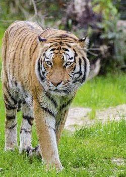 jim-corbett-national-park-tiger